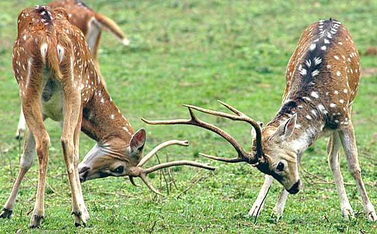 Un parco per cervi all 39 ex colonia di nava ponenteoggi for Corna cervo